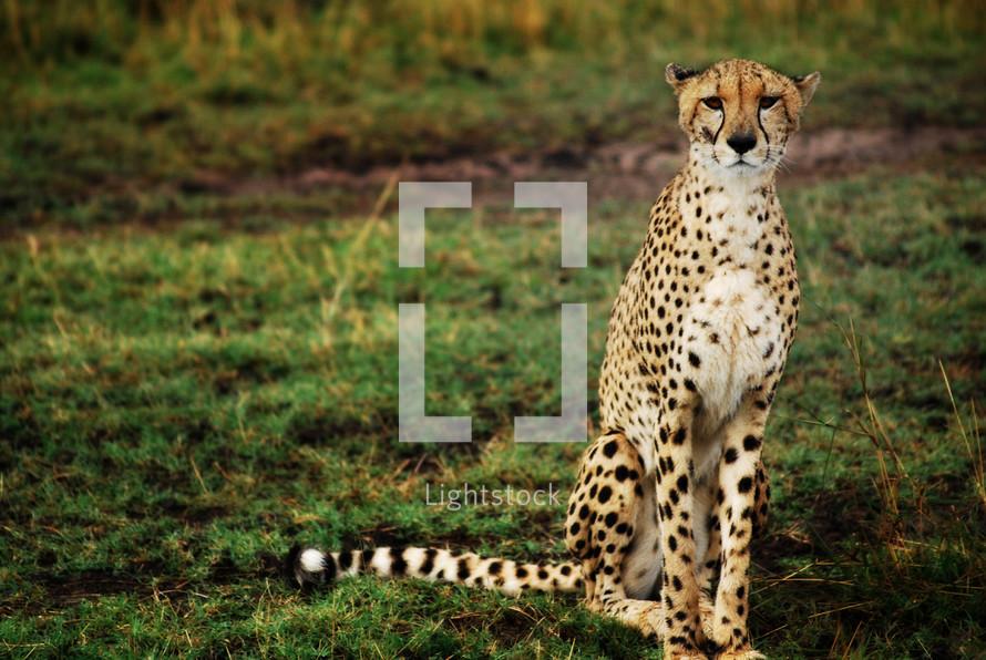 Cheetah waiting to move