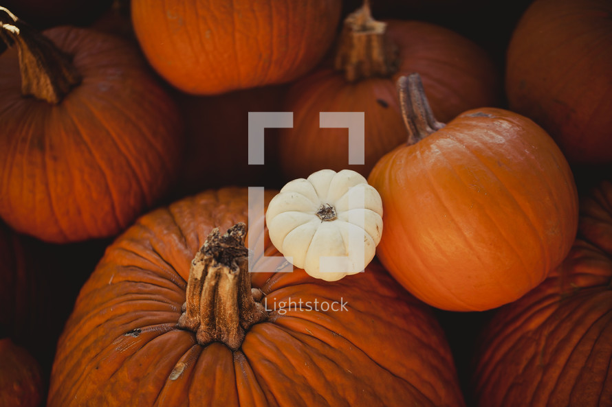 One white pumpkin amid orange pumpkins.