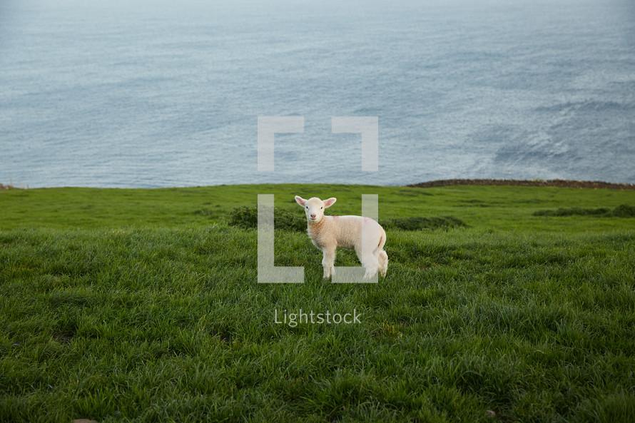 a lamb at the top of a green cliff along a shore line