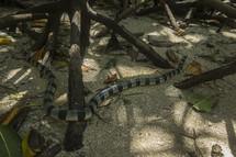 venomous sea snake on the sand
