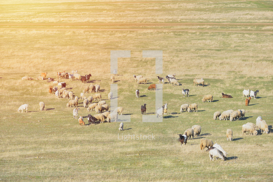 goats, lambs, and sheep in a field