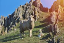 lamb and sheep