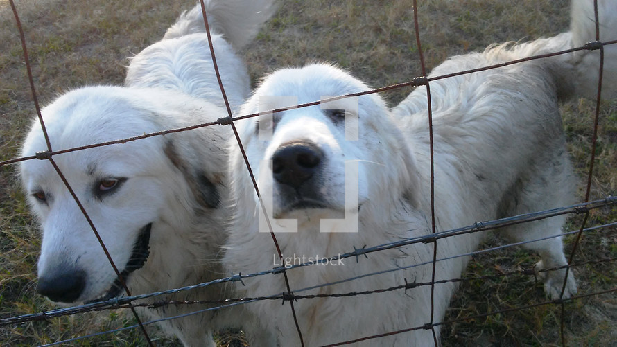 Great Pyrenees farm dogs  enjoying some company and attention in front of a fence on a sunny morning.