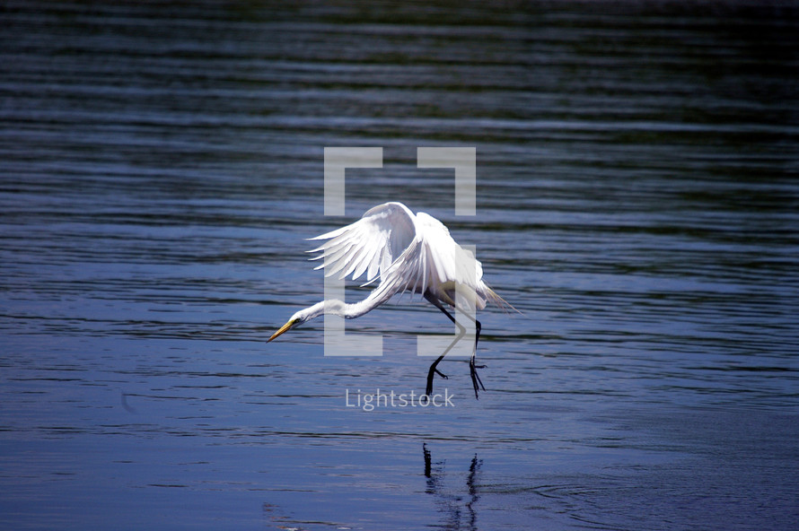 A big white Egret landing in the water.