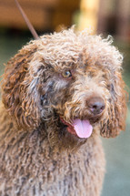 Portrait of brown spanish Water Dog. Vertical portrait