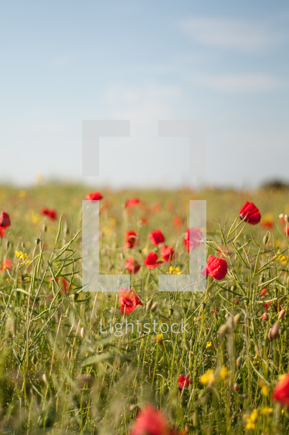 red poppies in a field