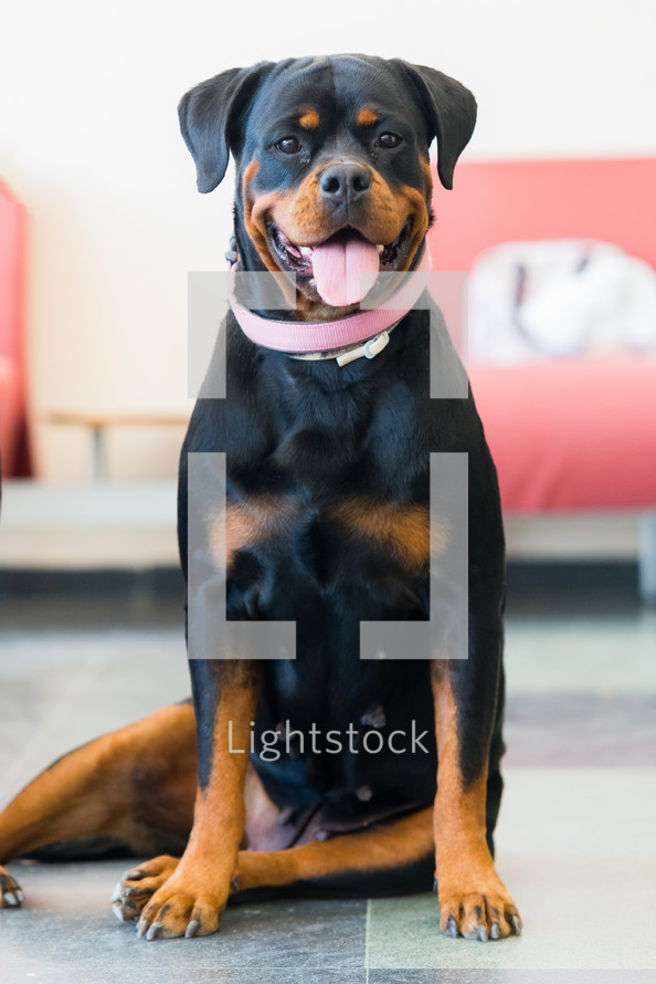 Rottweiler female dog sitting on floor looking to camera