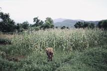 worker in a corn field