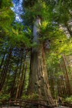 brotherhood redwood tree