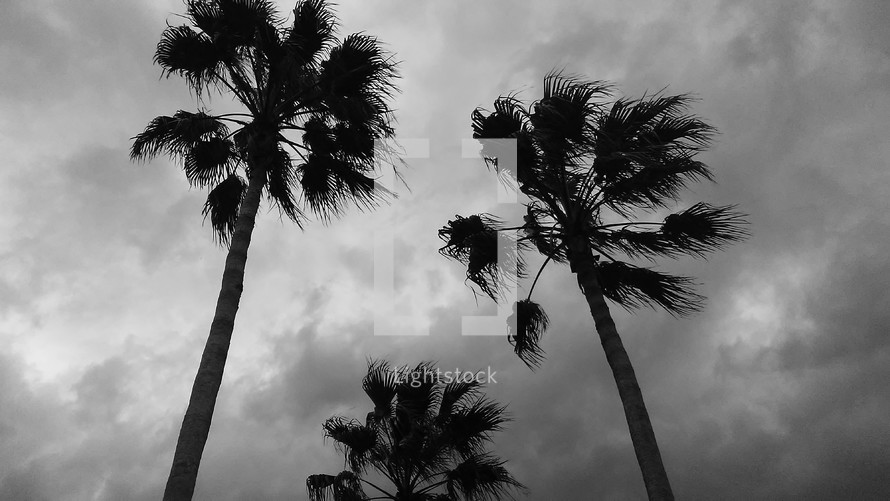 Beautiful tall palm trees sway in the breeze silhouetted against a gray sky in this black and white photograph taken during Hurricane Season in Florida. There is beauty in black and white photography that creates a stark contrast against a world of color. I love color photography but sometimes a black and white photo stands the test of time to show the beauty and grandeur of nature captured on film.