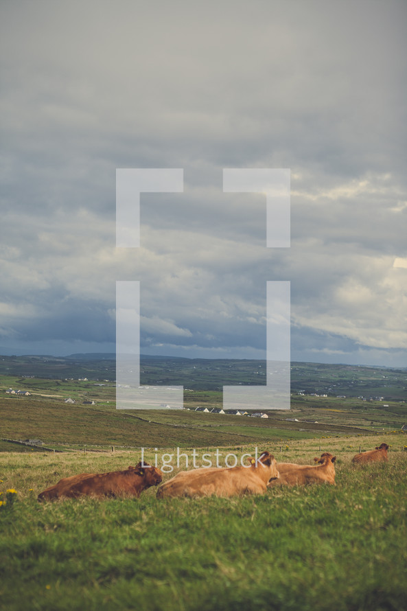 resting cattle