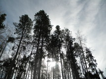 looking up at the trees of a pine forest