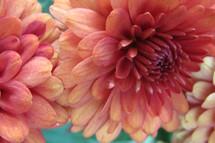 pink flowers closeup