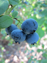 Blueberries growing on a blueberry bush.