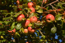 bright red apples in a tree