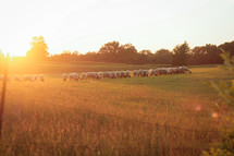 sheep grazing in a field at sunset