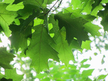 green oak leaves on a tree