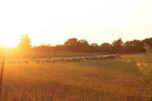 sheep grazing under sunlight at sunset