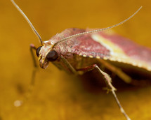 Red moth.