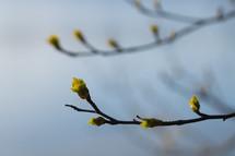 budding spring branches