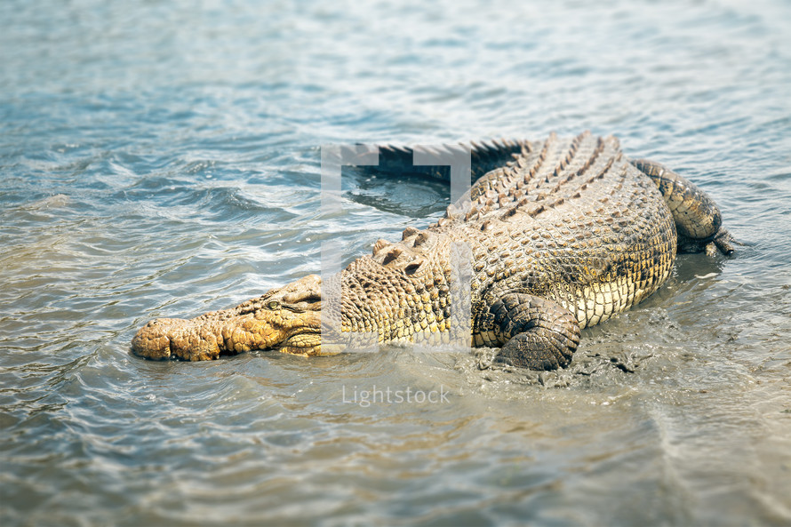 sunbathing crocodile