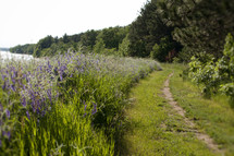 wildflowers lining a trail