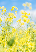 canola flowers against a blue sky