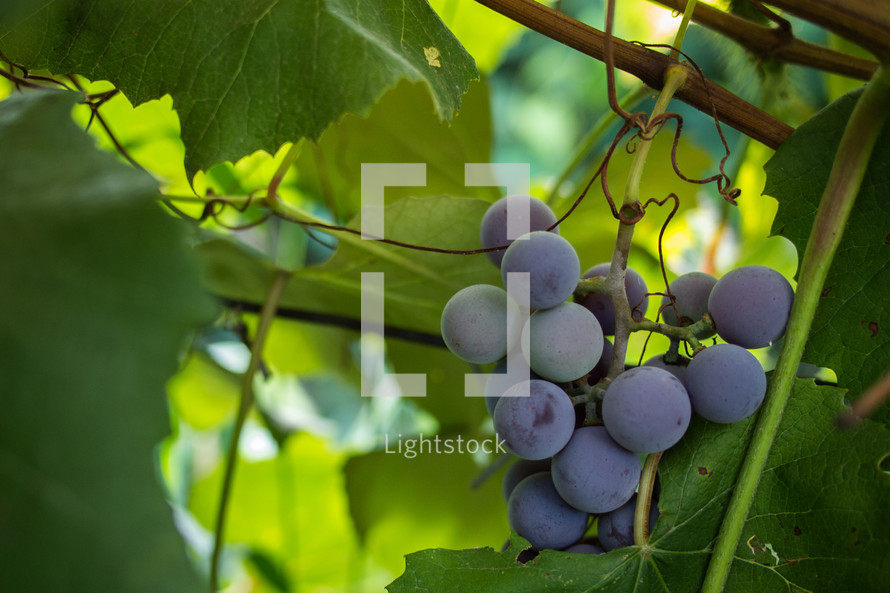 grapes growing on the vine