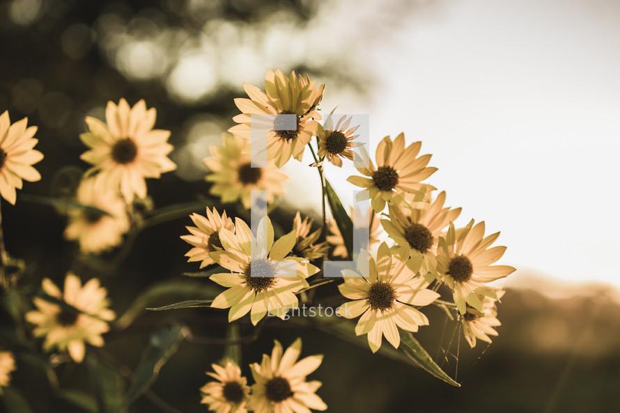yellow flowers in warm sunlight