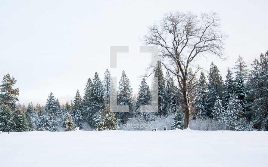 snow covered trees in a forest and snow on the ground