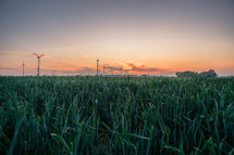 green wheat and wind turbines at sunset