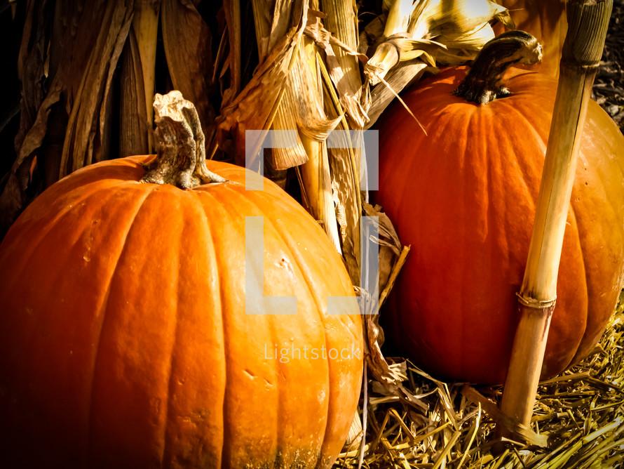 Orange pumpkins and yellow cornstalks for autumn decoration.