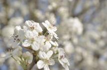 closeup of cherry blossoms