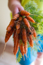 A hand holding a freshly picked bunch of carrots.