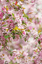 brightly coloured pink spring blossoms on a tree