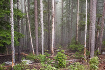 fog in an evergreen forest