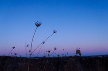 dried flowers in a field at sunset