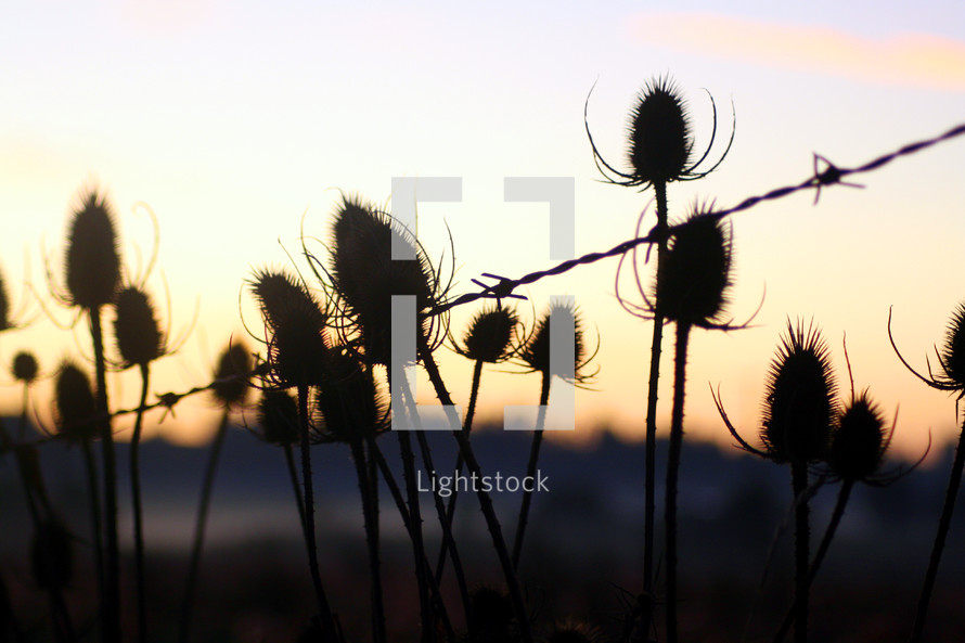 Thistle bushes with barbed wire at sunset.
