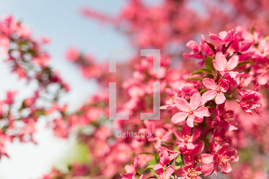 fuchsia spring flowers on a tree branch