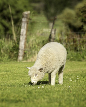 a sheep grazing