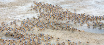 swarm of soldier crabs on a beach