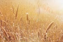 a golden wheat field