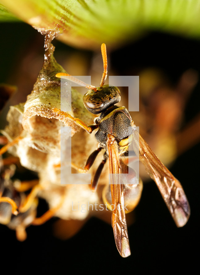 Paper wasp on its nest