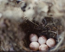 A bird nest full of eggs.