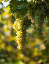 green grapes hanging from a vine