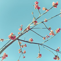 spring blossoms on a tree