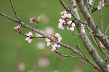 pink spring blossoms on a branch