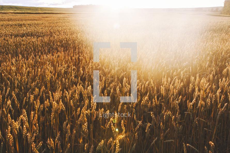 sunburst over a field of wheat