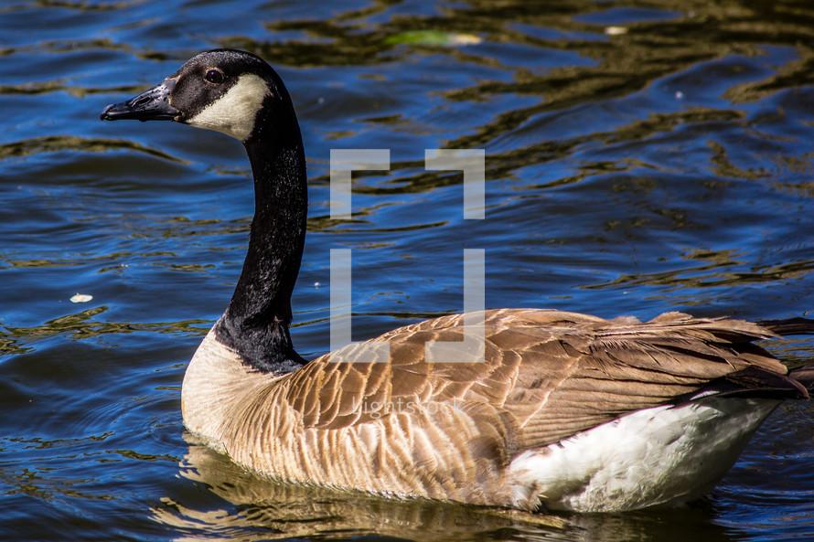 Canada Goose alone on a lake.