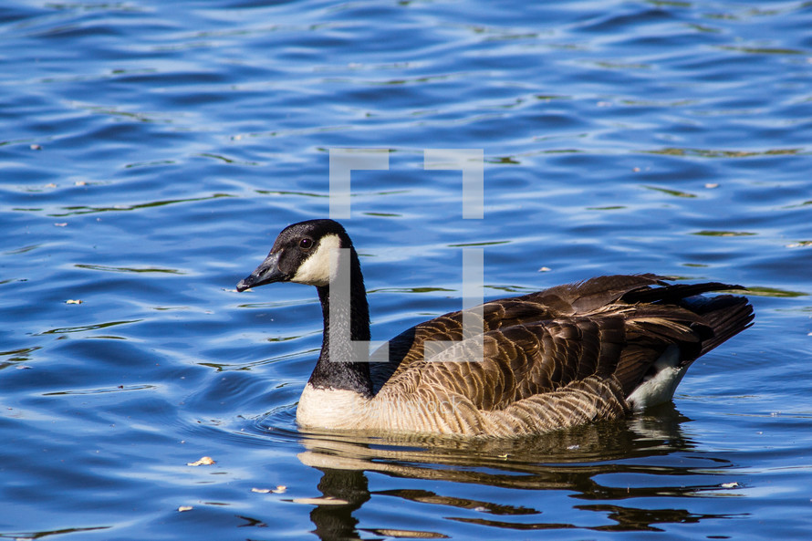 Single Canada Goose on a lake.